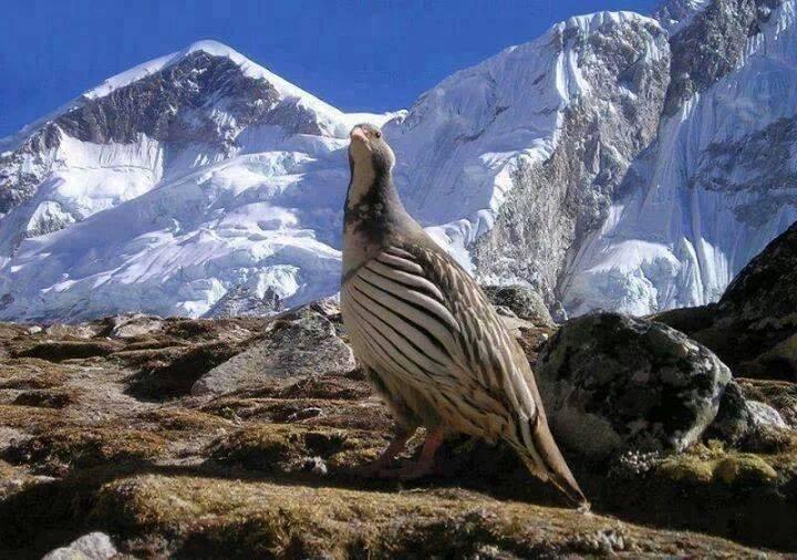 himalayan-snowcock