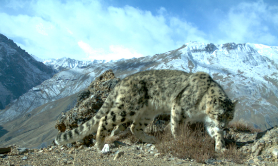 A Snow leopard as seen in the wild (Source: Creative Commons).