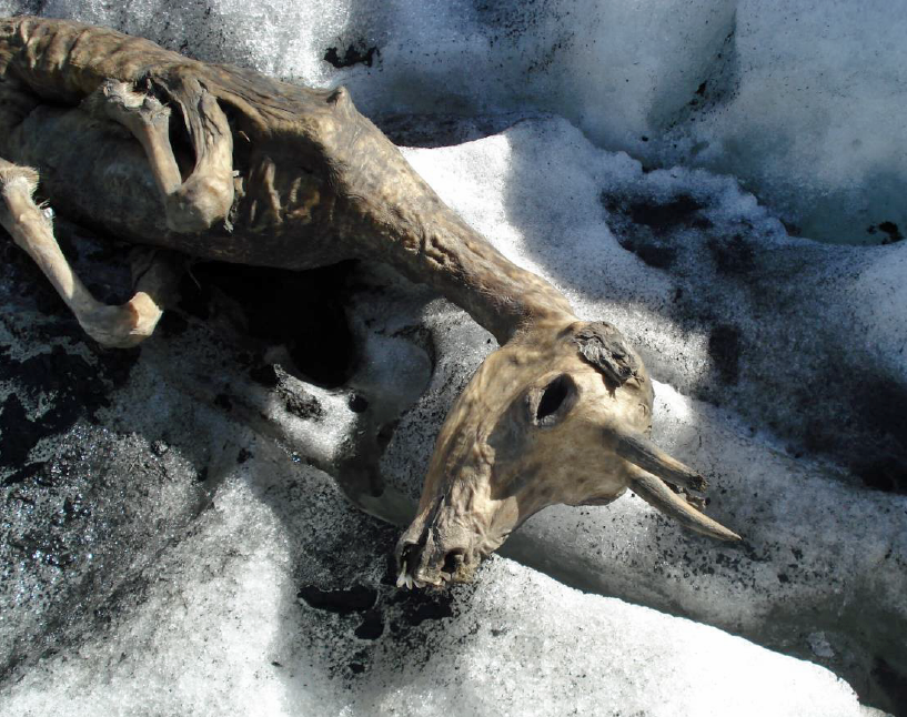 A mummified chamois found on a glacier in Switzerland (source: Bündner Naturmuseum)