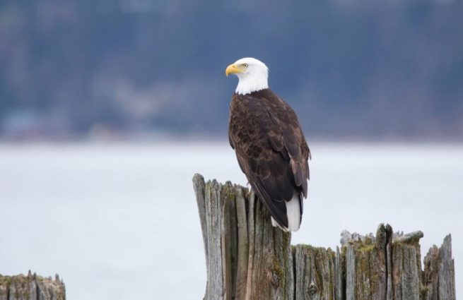 An eagle scans the water near Sammish Island (source: Dex Horton Photography/ Flickr).