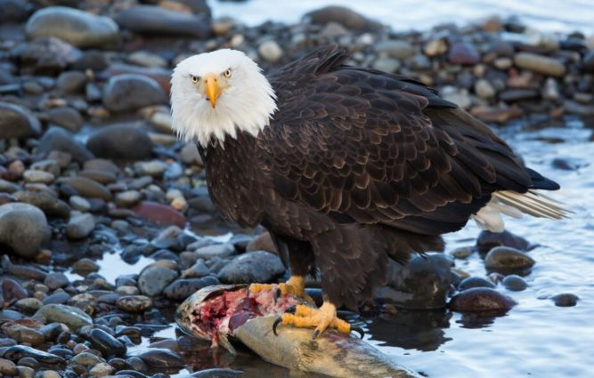 Bald Eagle feeding on salmon (source Kenneth Kearney Flickr).