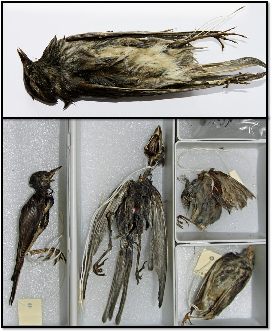 A collection of mummified birds collected from alpine ice patches in central Norway and in Yukon, Canada (source: Jørgen Rosvold).