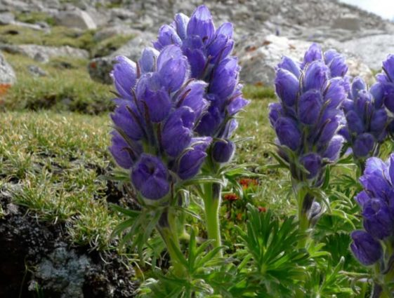 Delphinium brunooionum (musk larkspur) as seen by pilgrims performing kora (Source: The Way to the Sacred Land).