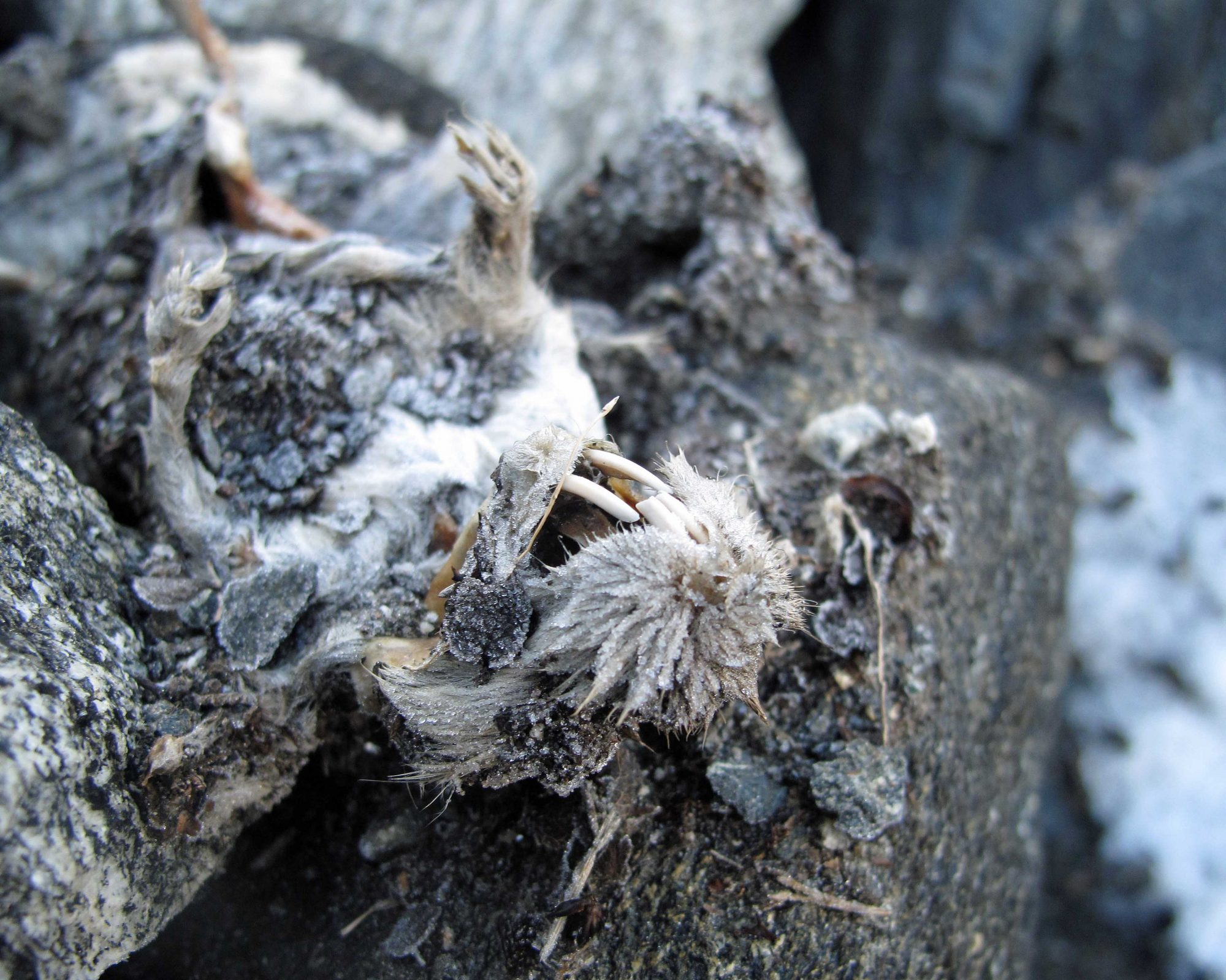 A recently melted out lemming mummy from a Norwegian ice patch (source: Tord Bretten/ SNO).