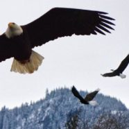 The Skagit Eagle Festival