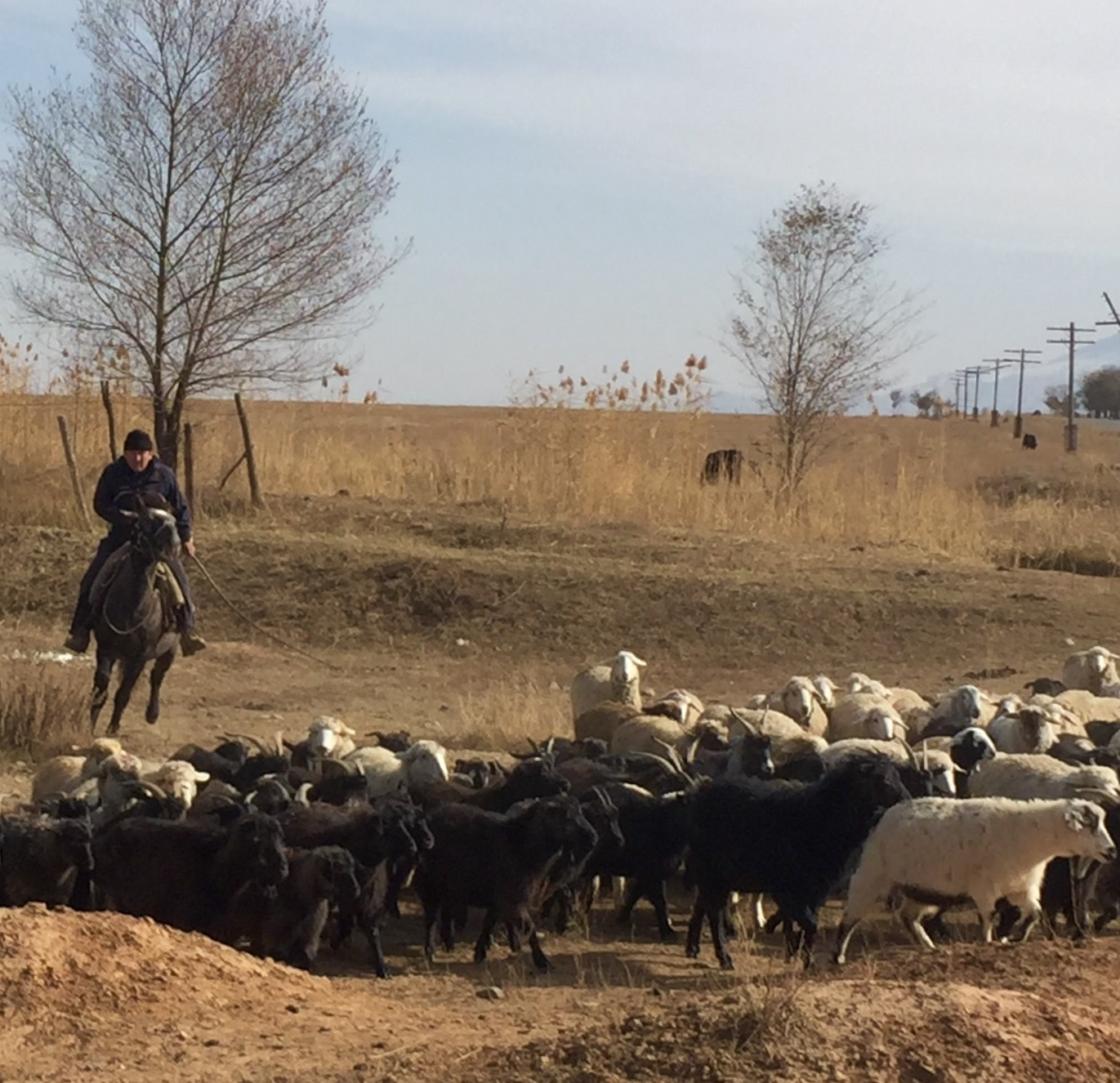 Herding sheep on horseback in upper Naryn Valley, November 2016 (source: B. Orlove