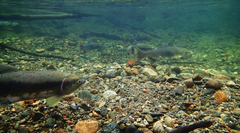 Salmon at Skagit River (source: Chuck Hilliard/Flickr).