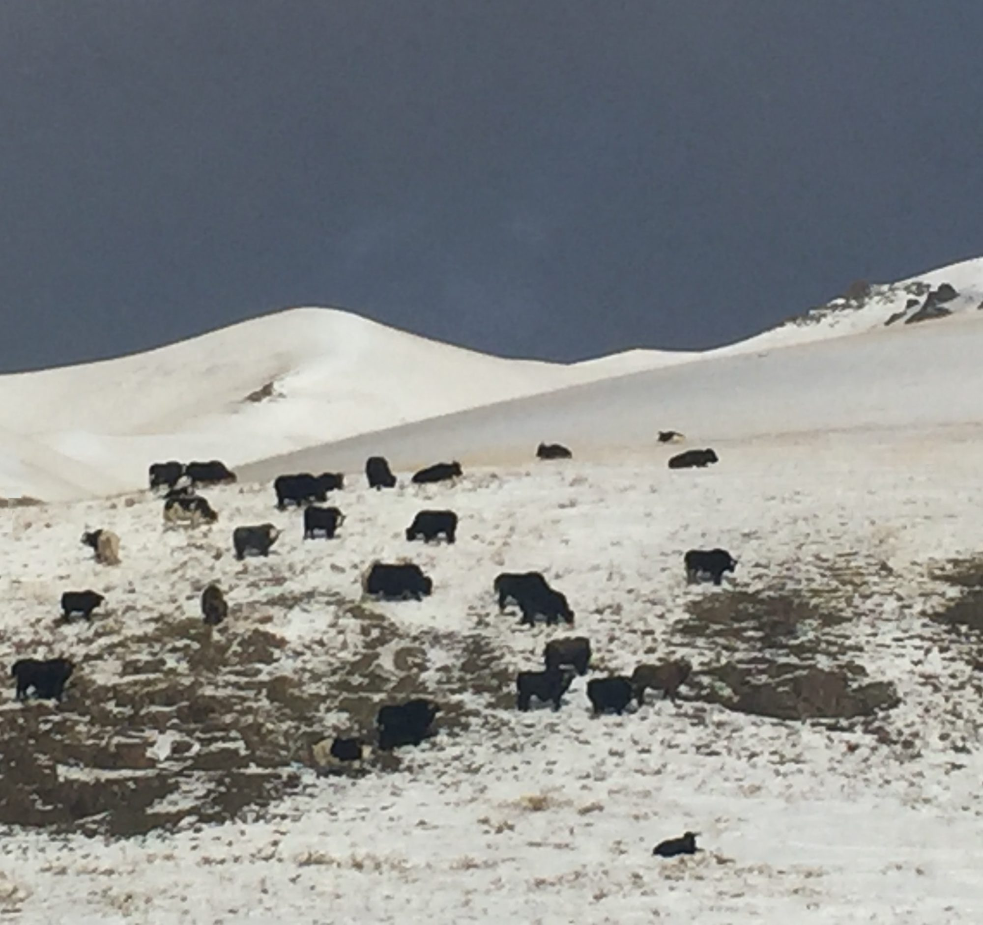 Yaks in the upper Naryn River valley, October 2016 (source: B. Orlove)