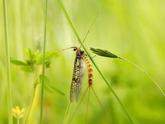 A common species of mayfly (Source: Luc Viatour/Creative Commons).