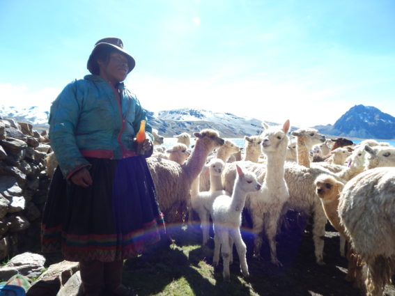 In a corral on the shores of Sibina Qocha a herder treats her alpacas' illness with an herbal tincture.