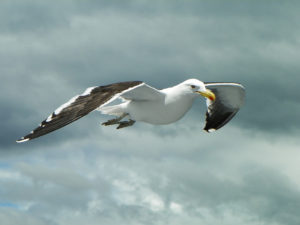 Kelp gulls have a large range in the southern Hemisphere (Source: Yuri Hutflesz / Creative Commons).