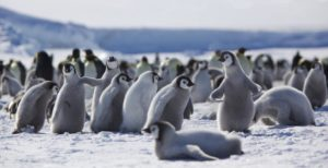 Emperor penguin chicks at play (source: Ian Duffy / Flickr).
