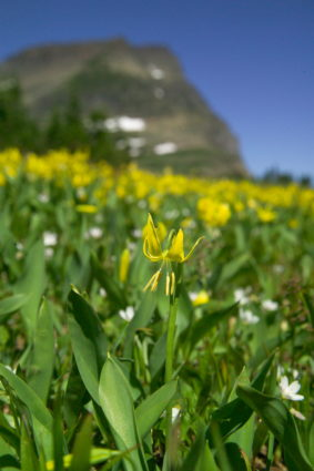 Glacier Lilies (Source: GlacierNPS/Creative Commons)