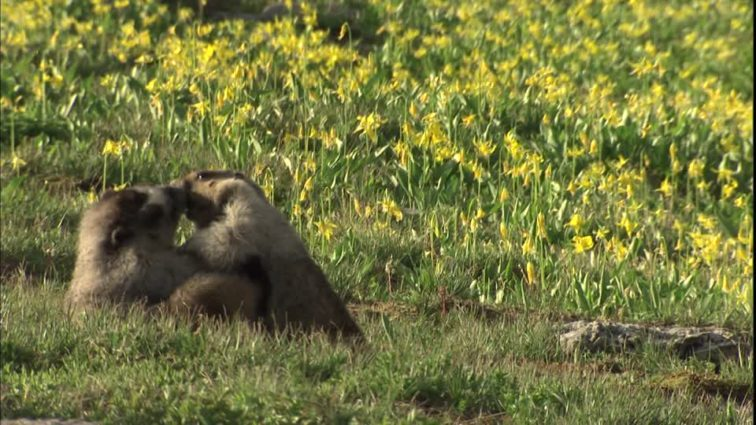 Marmots playing in a Glacier Lily meadow in Montana (Source: Glacier National Park/Creative Commons).
