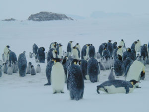 Photos of emperor penguins taken close to Dumont d'Urville station (source: André Ancel).