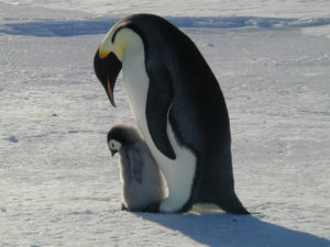 Emperor penguins with a chick (source: André Ancel).