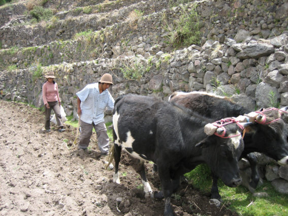 Young farmers in Peru (Source: Goldengreenbird/Creative Commons).