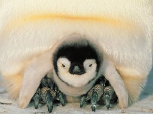 Safe harbor for an emperor penguin chick (source: Ignacio Nazal / Flickr).
