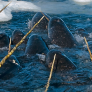 Roundup: Glacier Lakes, Narwhals, and Water Stress