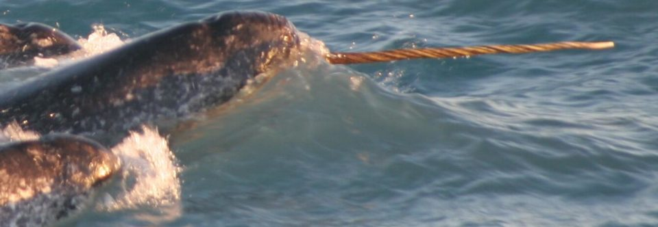 Putting Your Best Tusk Forward: Narwhals and Climate Research