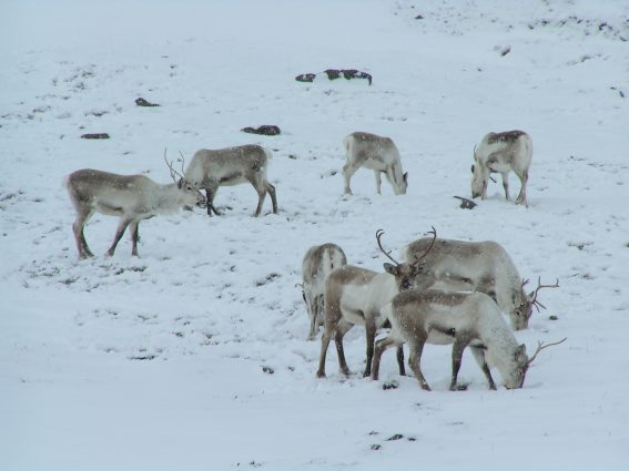 Reindeer digging through snow for food