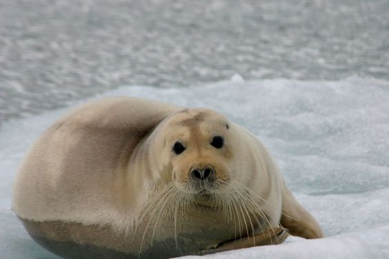 Bearded Seal in Svalbard (Ali Schneider/Pinterest)