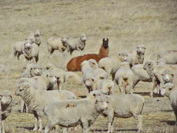 Llama in a sea of sheep grazing in a farm (Source: Brianne Hughes/ Pinterest )