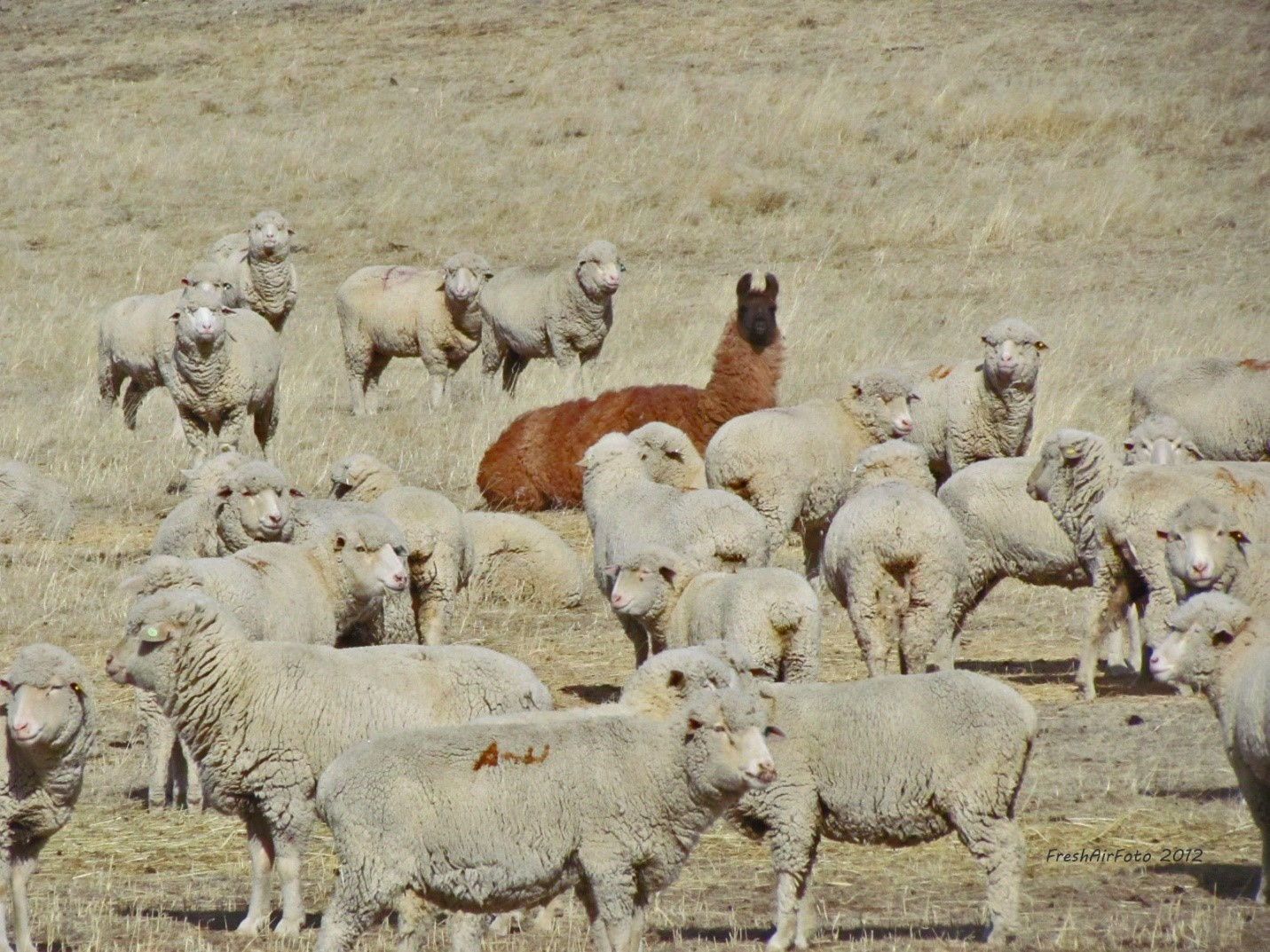Llama in a sea of sheep grazing in a farm (Source: Brianne Hughes/ Pinterest )