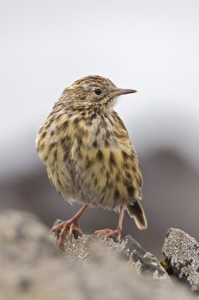 Photo of the South Georgia Pipit