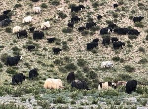 Yaks in the Qilian Mountains on GlacierHub