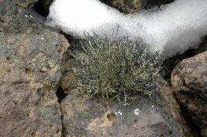 Usnea sp Lichen on James Ross Island (Source: Elster Josef)
