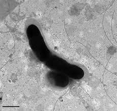 Cryobacterium