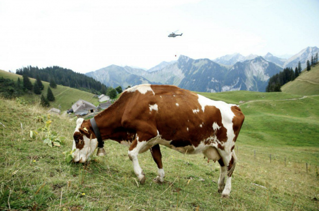 Photo of a cow and a helicopter