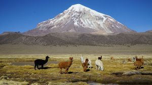 Alpacas at Sajama National Park, Bolivia (Source: Karina Yager)